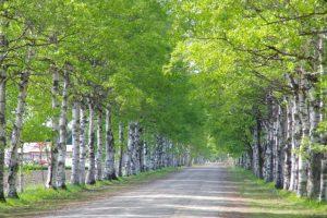 白樺並木 北海道帯広