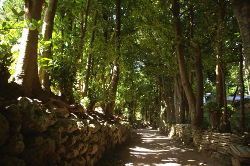 フクギの並木(沖縄県_10276)