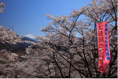 富士川町 大法師公園の桜