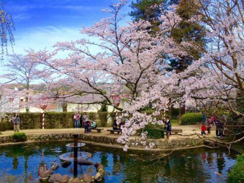 鳥取県倉吉市 白壁土蔵群すぐそば 打吹公園 桜